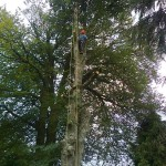 Large beech tree being dismantled